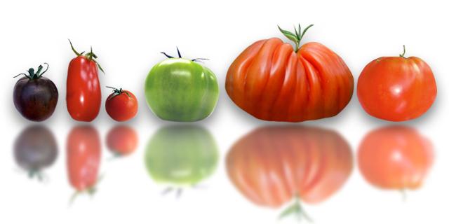 sorte rajčica i primjena