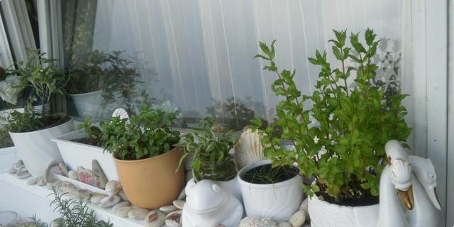 začinske biljke na mom prozoru