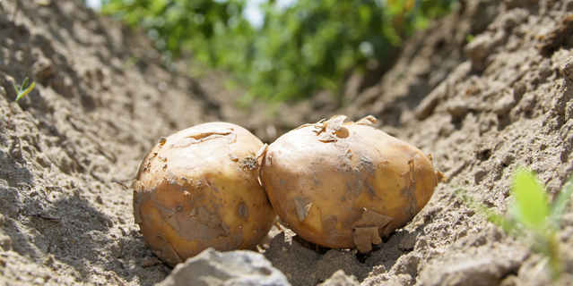 solanin u krumpiru
