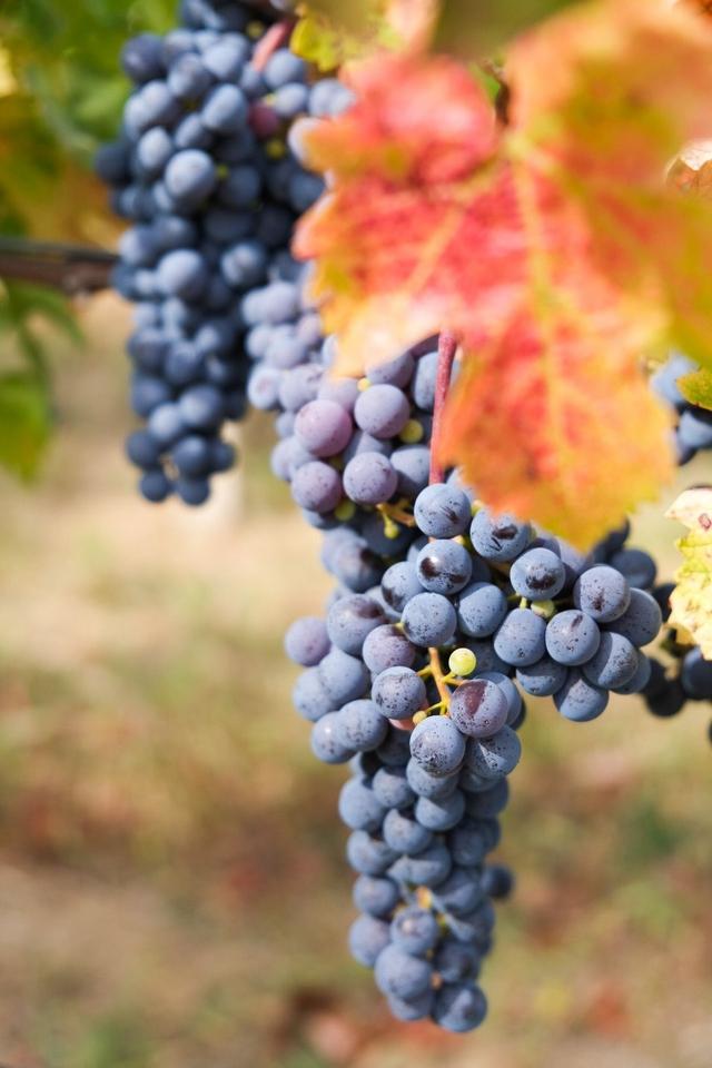 Detalj iz vinograda